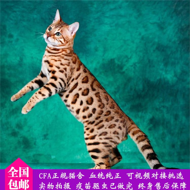 纯种豹猫纯种孟加拉豹猫正规CFA猫舍包健康包纯种全国发货7