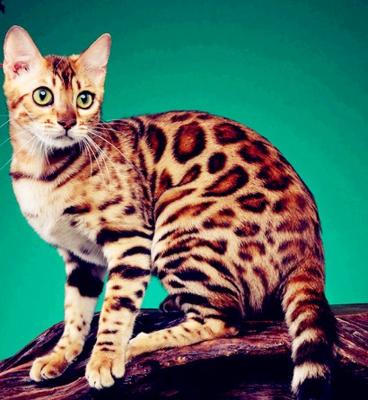 纯种豹猫纯种孟加拉豹猫正规CFA猫舍包健康包纯种全国发货6