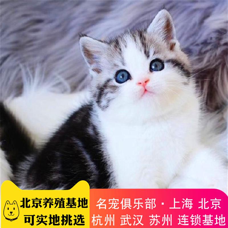 正规猫舍繁育直销纯种美国短毛猫,美短猫幼猫,美短猫活体图片