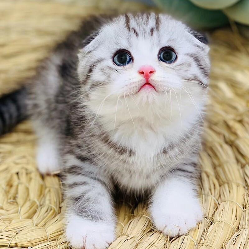 布偶猫 赛级布偶宠物猫 活体