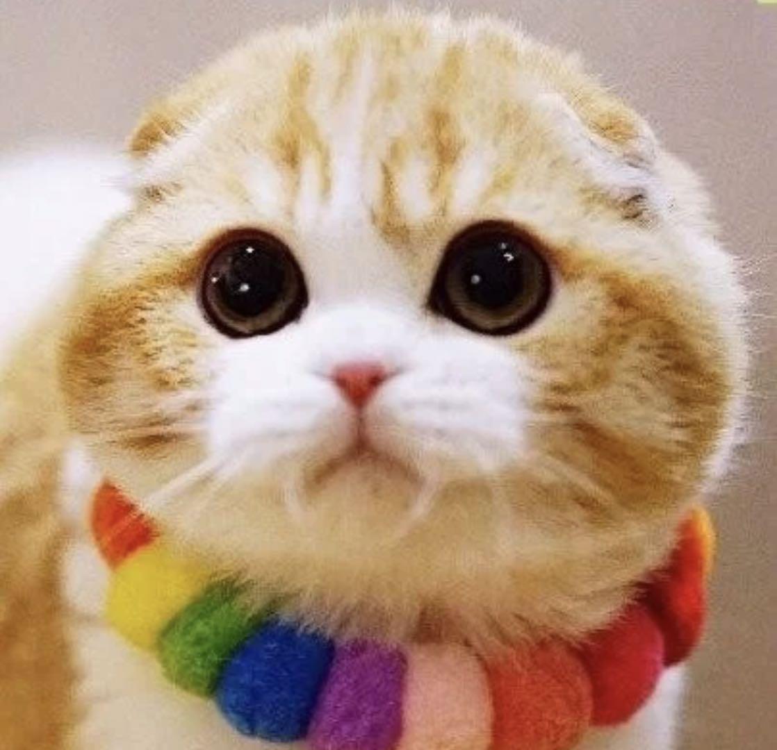 苏格兰折耳猫 纯种包健康 品质保障 全国发货