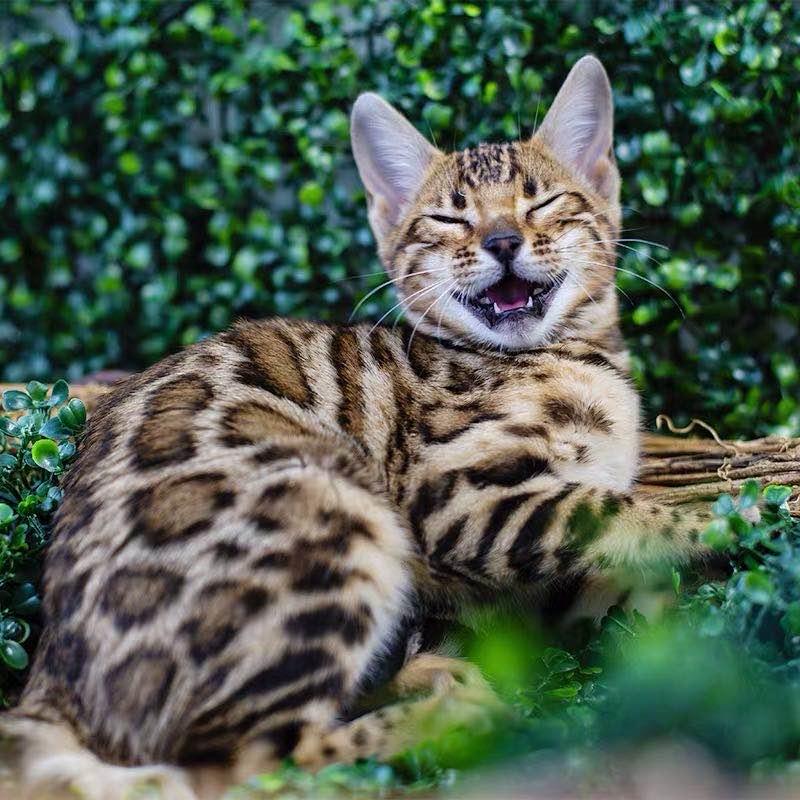 豹猫纯种孟加拉豹猫 空心大玫瑰花纹 全国发货3