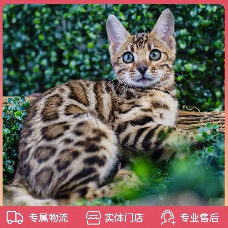 豹猫纯种孟加拉豹猫 空心大玫瑰花纹 全国发货2