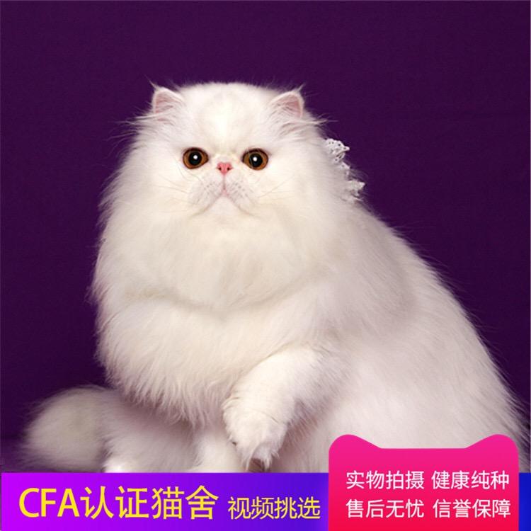 高赛级波斯 cfa注册猫舍全国发货