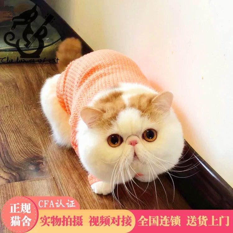 官方推荐猫舍出售精品加菲 全国签订协议 包纯种健康
