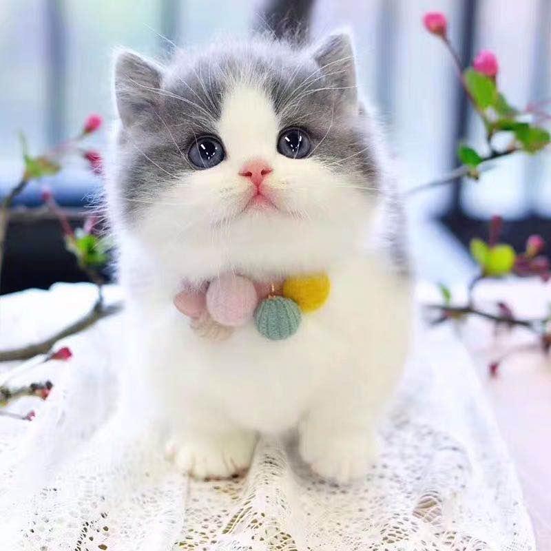 cfa注册猫舍 官方推荐 精品曼基康全国发货