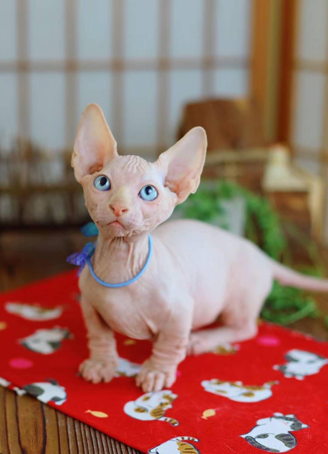 斯芬克斯加拿大无毛猫正规繁育直销 全国发货