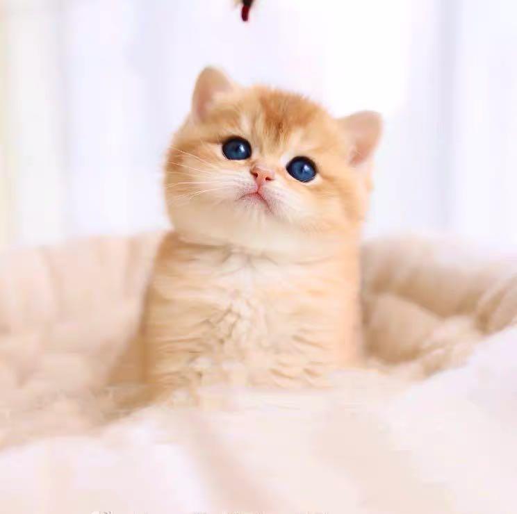 英国短毛猫 银渐层 金渐层 蓝猫蓝白包纯种健康