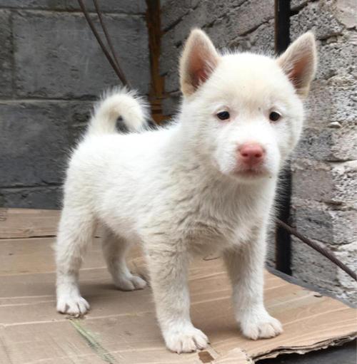 云南哪里能买到纯种下司犬 昆明曲靖哪里能买到下司犬价格