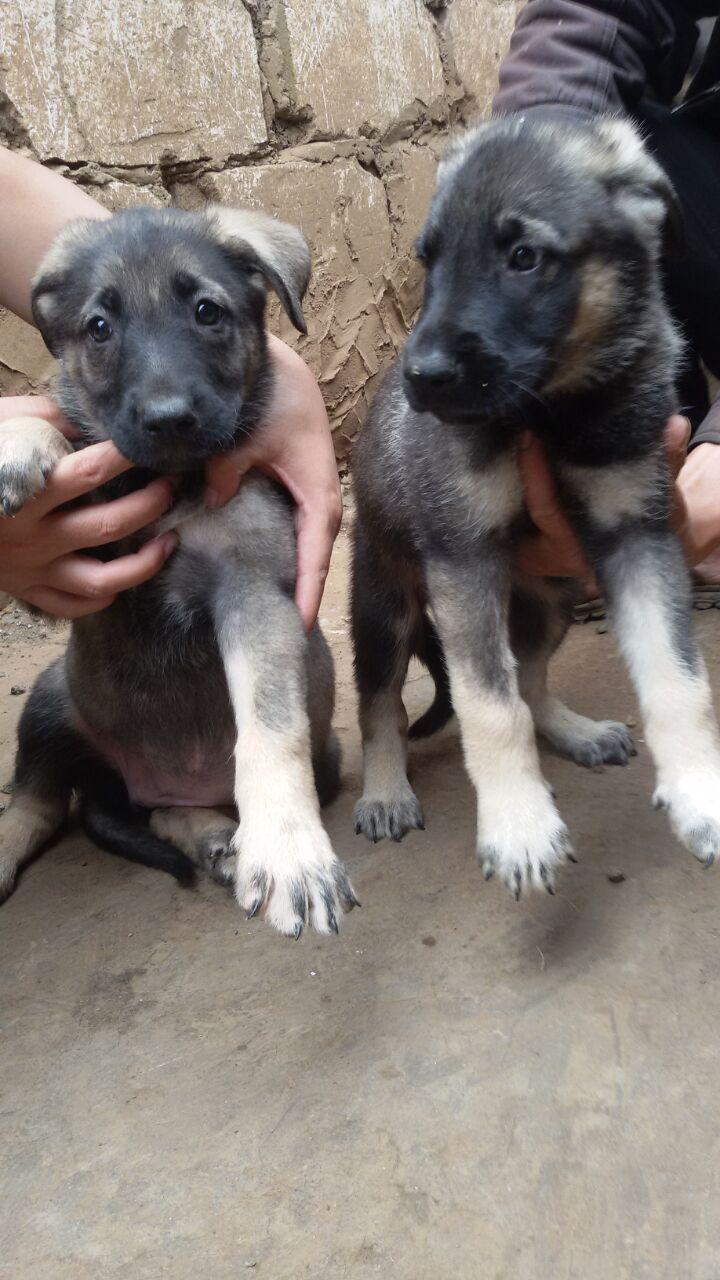 泸州哪里买昆明犬 养狗场常年出售昆明犬小狗