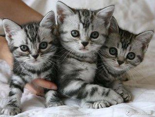 广州哪里买猫比较靠谱?广州哪里有卖美短猫,价格多少