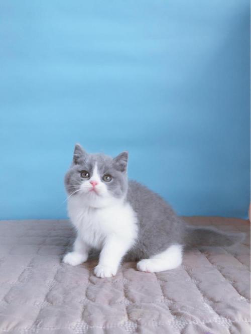 广州哪里有卖蓝白猫,纯种英短蓝白猫