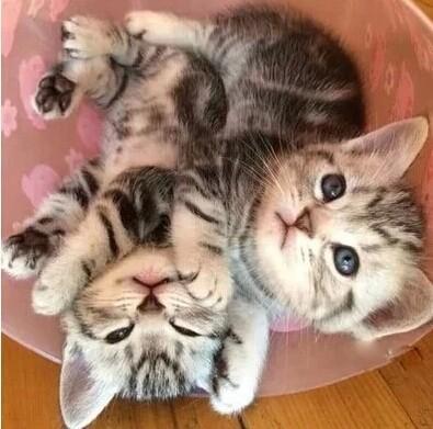 广州哪里有卖美短猫,广州去哪买猫比较好?