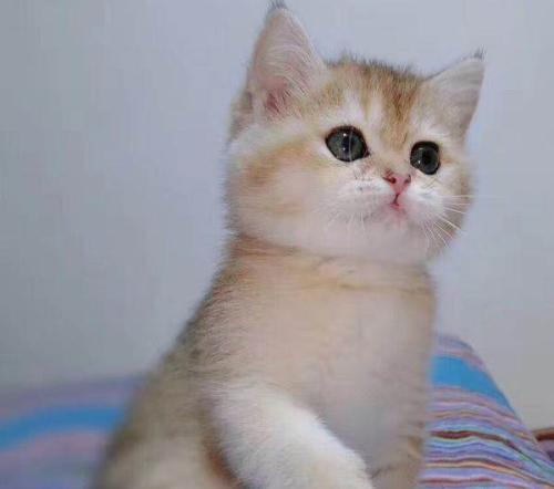 广州哪里有卖金渐层猫,金渐层怎么卖广州正规猫舍