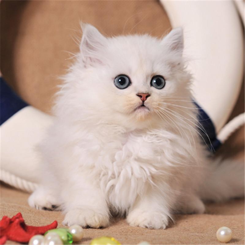 性格温顺 深圳哪里有卖金吉拉猫,爆毛量高贵