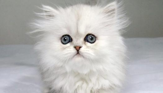 佛山哪里有卖金吉拉猫,哪买金吉拉猫咪健康有便买猫签协议