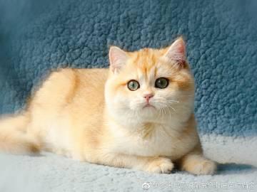 惠州哪里有卖金渐层,价格多少钱一家CFA认证猫舍