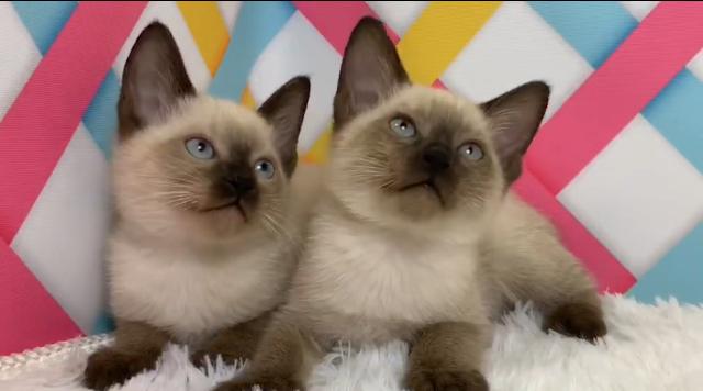 超有个性暹罗猫,价格实惠,签协议,可送货