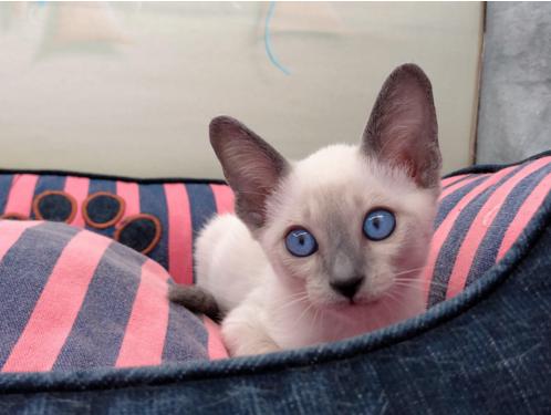 自家繁育好品质纯种暹罗猫 猫中贵族 暹罗猫价格