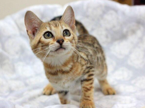 北京豹猫多少钱一只 纯种孟加拉豹猫 猫中猎豹 豹猫价格