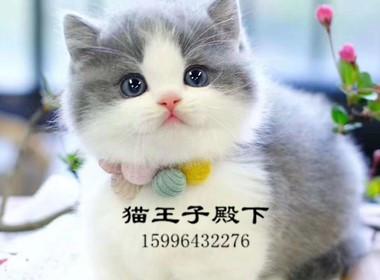 ▊官网推荐已认证▊拿破仑矮脚猫▊CAF认证▊保障第一▊