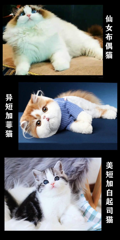 赛级孟加拉豹猫幼仔雪豹活物宠物猫幼崽猫咪活幼体猫咪6