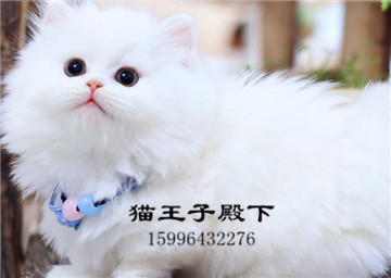 赛级拿破仑曼基康矮脚猫短腿猫幼崽拿破仑猫短腿猫