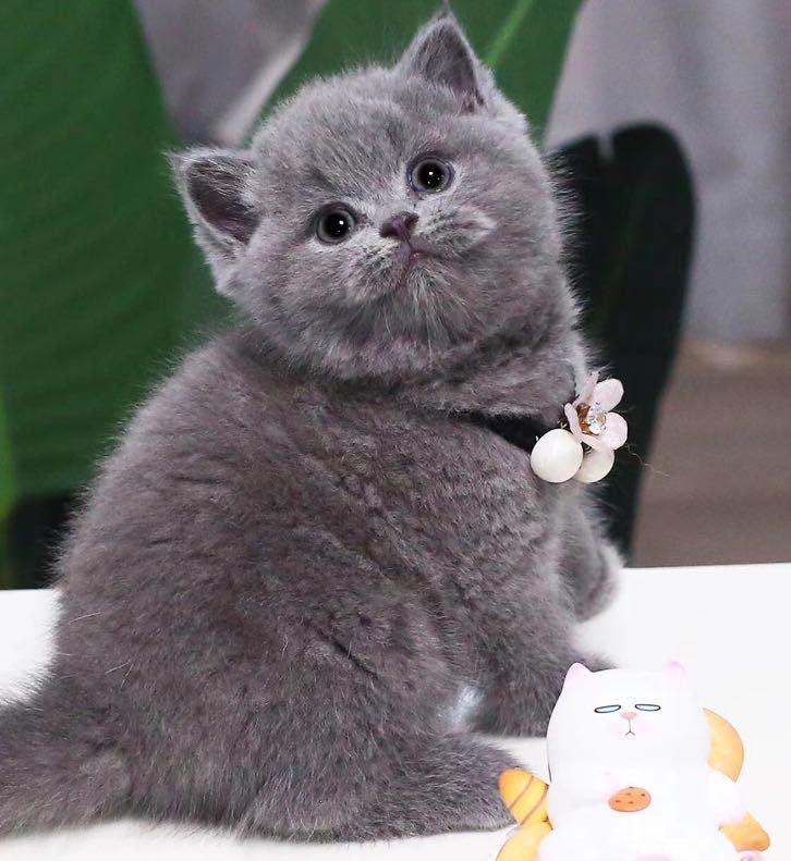 CFA注册正规猫舍
