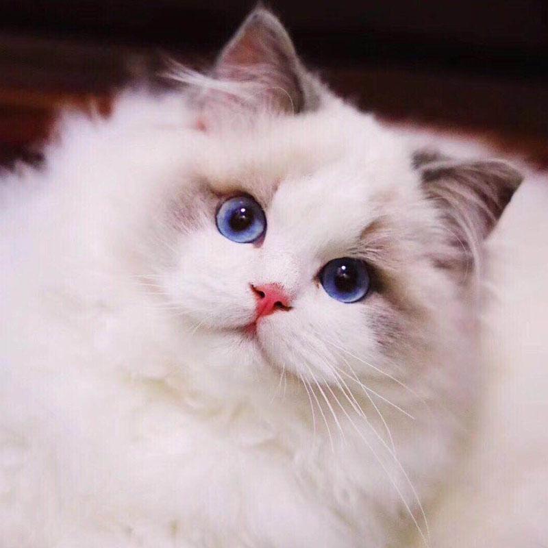 重庆犬舍猫舍直售 纯种布偶猫 健康质保签合同!