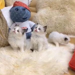 中山布偶猫舍哪里有?中山哪里有卖布偶猫?正规的,靠谱的