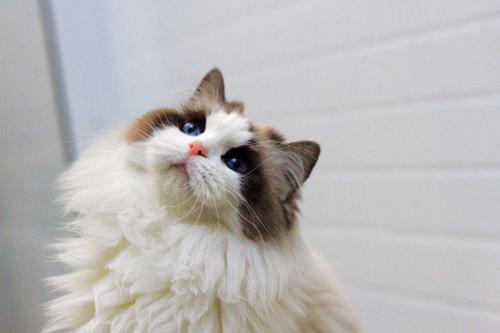 佛山哪里有卖布偶猫 一手繁殖猫舍直销 质量保证