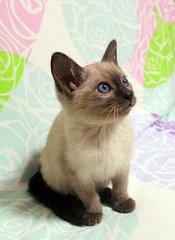 暹罗猫一只大约多少钱?深圳哪里有卖暹罗猫