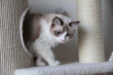 东莞哪里有布偶猫卖 肠胃好吗 图片价格 掉毛吗