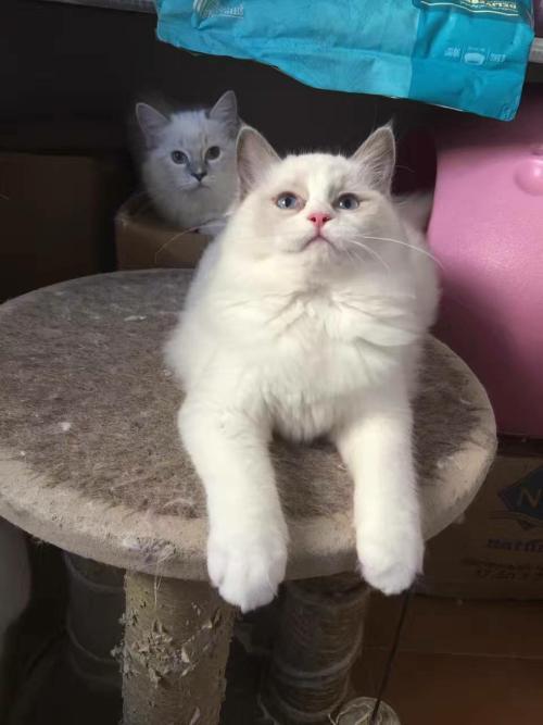 广州哪里有卖布偶猫,全场打折质量保证半年