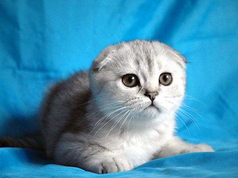 高品质折耳猫咪接受预定中山哪里有卖折耳猫
