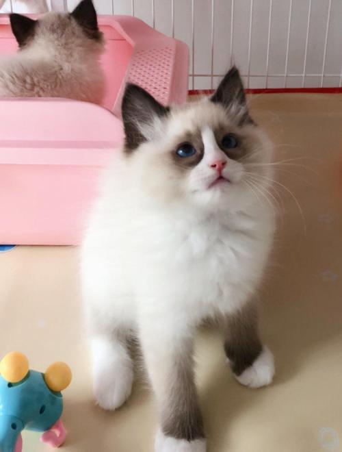 珠海哪里有布偶猫卖。纯血统,疫苗打好健康可爱
