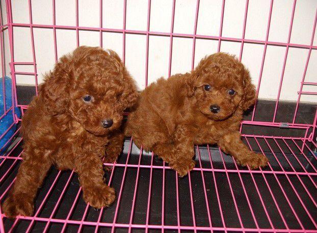 思茅卖泰迪思茅买泰迪思茅狗场常年出售纯种泰迪