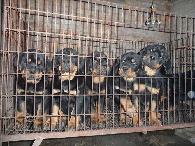 迪庆卖罗威纳迪庆买罗威纳迪庆狗场常年出售纯种罗威纳