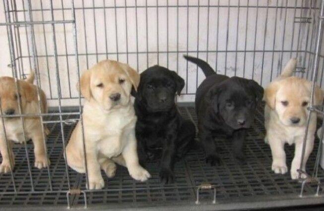 昆明卖拉布拉多昆明狗场常年出售纯种拉布拉多