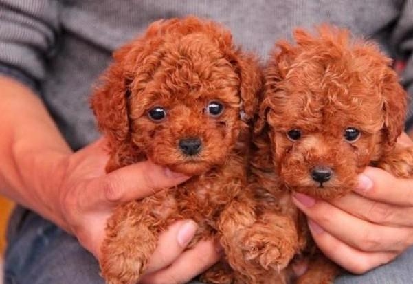 云南玉溪卖狗狗场常年卖纯种泰迪犬1
