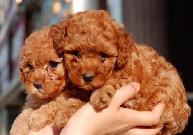 云南玉溪卖狗狗场常年卖纯种泰迪犬5