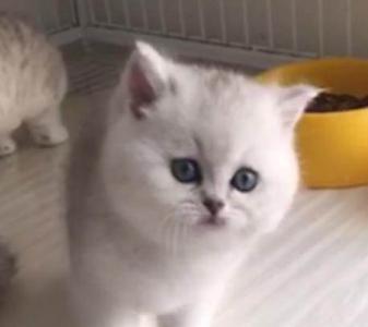 银渐层好品质猫舍欢迎现场挑,中山哪里有卖银渐层猫