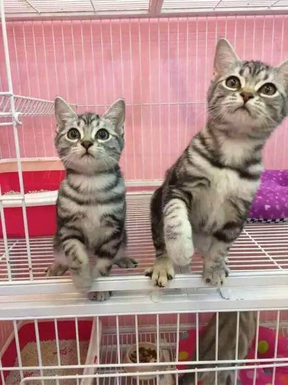 美短短毛猫虎斑猫咪,纹路清晰佛山哪里有卖美短