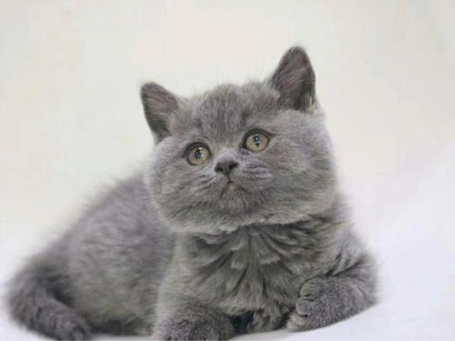 深圳宝安区哪里有卖蓝猫的 胖嘟嘟的好可爱