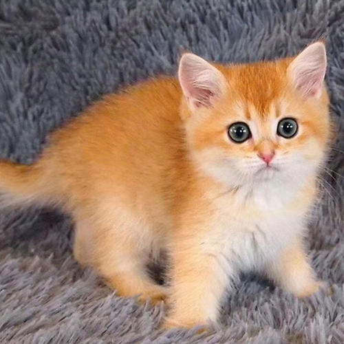 佛山哪里有卖金渐层猫,可靠的猫舍