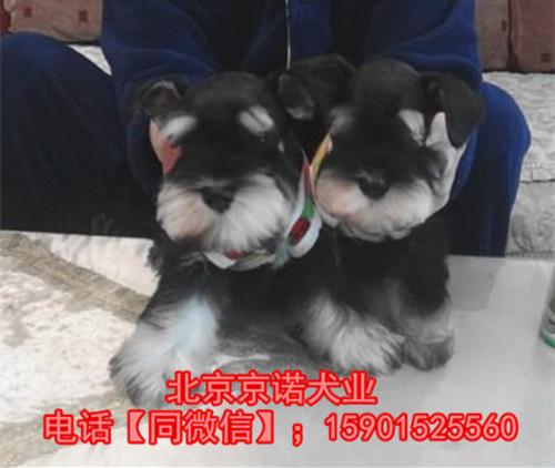 纯种雪纳瑞 北京雪纳瑞多少钱一只 京诺犬业直销6
