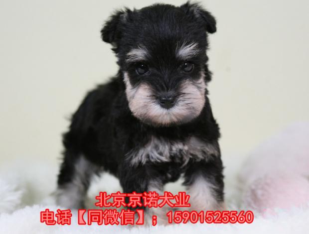 纯种雪纳瑞 北京雪纳瑞多少钱一只 京诺犬业直销11