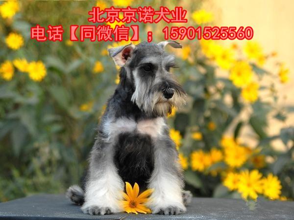 纯种雪纳瑞 北京雪纳瑞多少钱一只 京诺犬业直销7