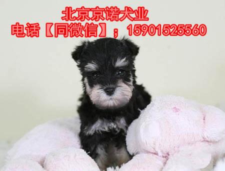 纯种雪纳瑞 北京雪纳瑞多少钱一只 京诺犬业直销9