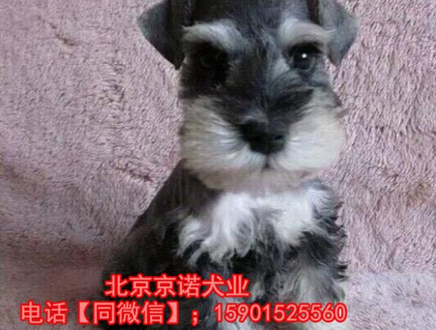 纯种雪纳瑞 北京雪纳瑞多少钱一只 京诺犬业直销10